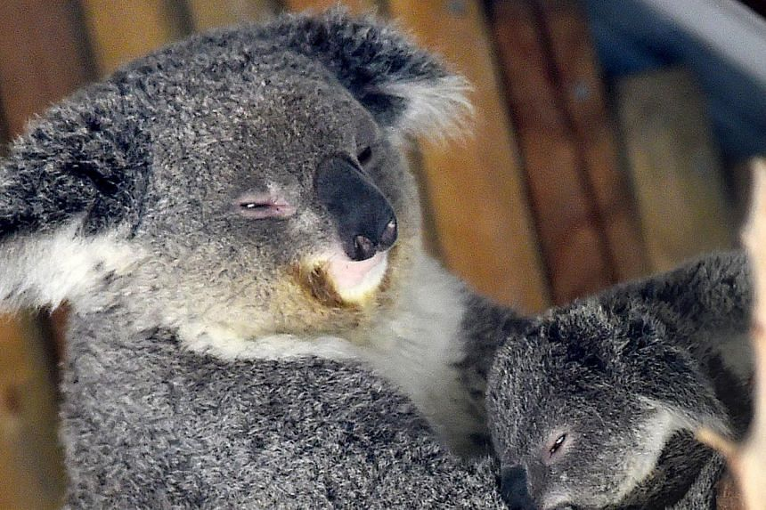 The Victorian state government is concerned many of the koalas may be undernourished because the colony at Cape Otway has grown even as the supply of the koalas' staple diet of manna gum leaves has diminished. -- PHOTO: AFP