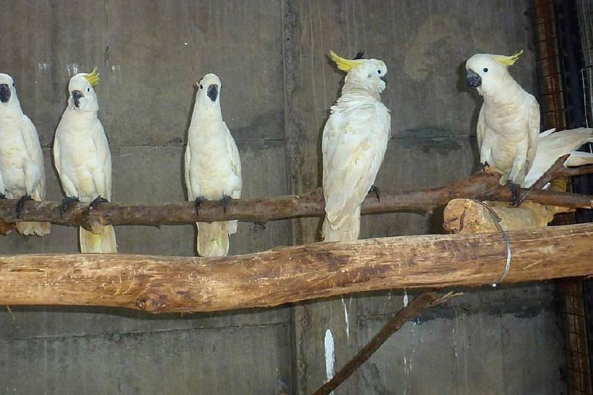 Some of the surviving cockatoos. They had beenfound stuffed in plastic water bottles in the luggage of a suspected wildlife smuggler.-- PHOTO: MEHD HALAOUATE - WORLD PARROT TRUST