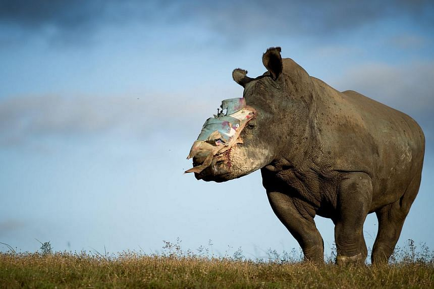 A handout image released by Adrian Steirn shows four-year old female rhino Hope recovering at Shamwari Game Reserve in the Eastern Cape, South Africa, 26 May 2015. Hope survived an horrific poaching attack thanks to dramatic intervention by specialis