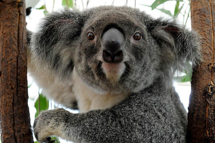 """Australia's Queensland state will list the koala as a """"vulnerable species"""" throughout the north-eastern region, saying urban expansion, car accidents and dog attacks were threatening the much-loved furry animal. -- PHOTO: AFP"""