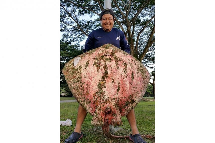 A regular fishing trip to Pasir Ris on May 22 turned extraordinary when one of the anglers caught a giant stingray, estimated to weigh around 100kg. -- PHOTO: SHIN MIN DAILY NEWS