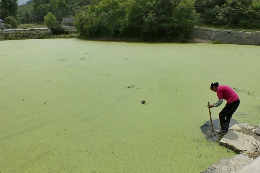 A farmer cleans her farming tool at a pond covered by duckweed in Yichang, Hubei province, China on May 13, 2015. -- PHOTO: REUTERS