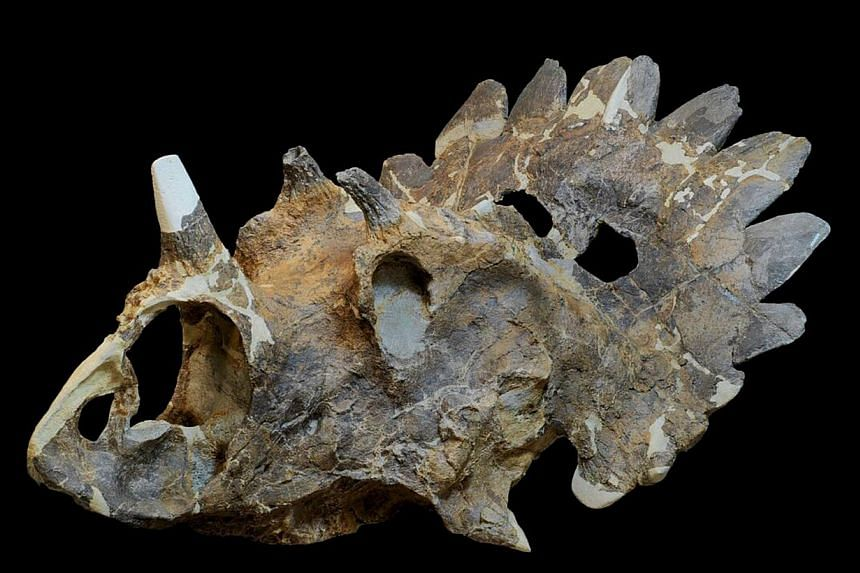A photograph courtesy of Royal Tyrrell Museum, Drumheller, Alberta, shows the skull of a new horned dinosaur scientists named Regaliceratops peterhewsi, in oblique view released to Reuters on June 3, 2015. Scientists had a heck of a time getting the
