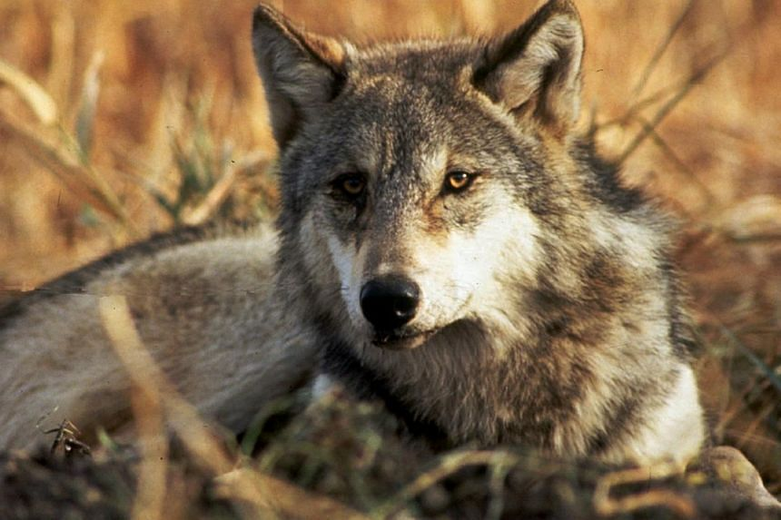 By observing wolves in free-living packs, the writer concludes that the leadership of the ranking male is not forced, not domineering and not aggressive to those on his team.