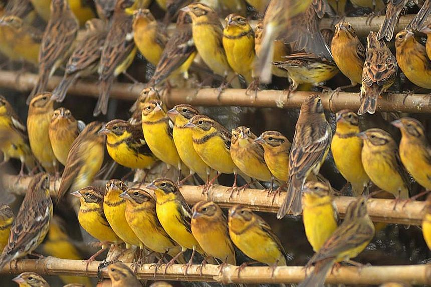 This handout photo taken on Nov 1, 2012 and received by AFP on June 9, 2015 from conservation group BirdLife International shows yellow-breasted buntings from a charge of 1600 that were confiscated at a trapping site in Foshan, in China's Guangdong p