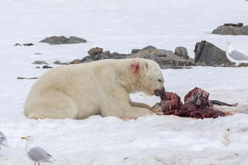 A polar bear eats a white-beaked dolphin in the Smeerenburgfjorden fjord, in the Norwegian archipelago of Svalbard, Norway on July 4, 2014. -- PHOTO: AFP