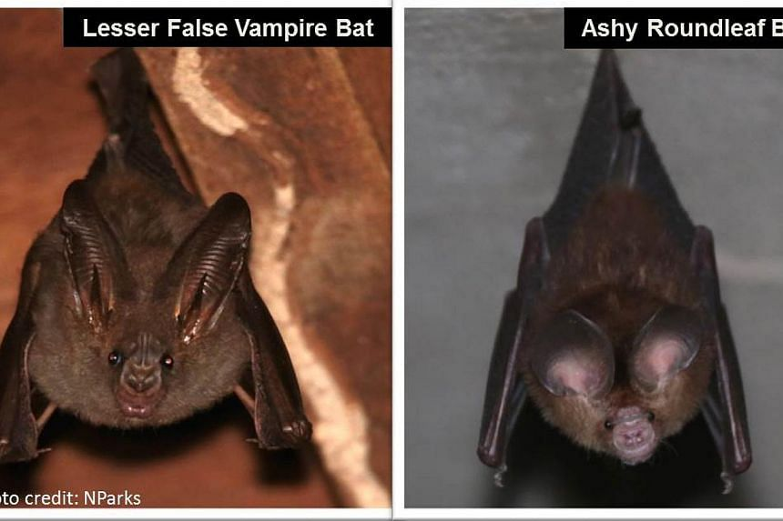 The National Parks Board (NParks) will be installing bat houses for the Lesser False Vampire Bat (left) and the Ashy Roundleaf Bat (right) on Pulau Ubin. -- PHOTO: NPARKS