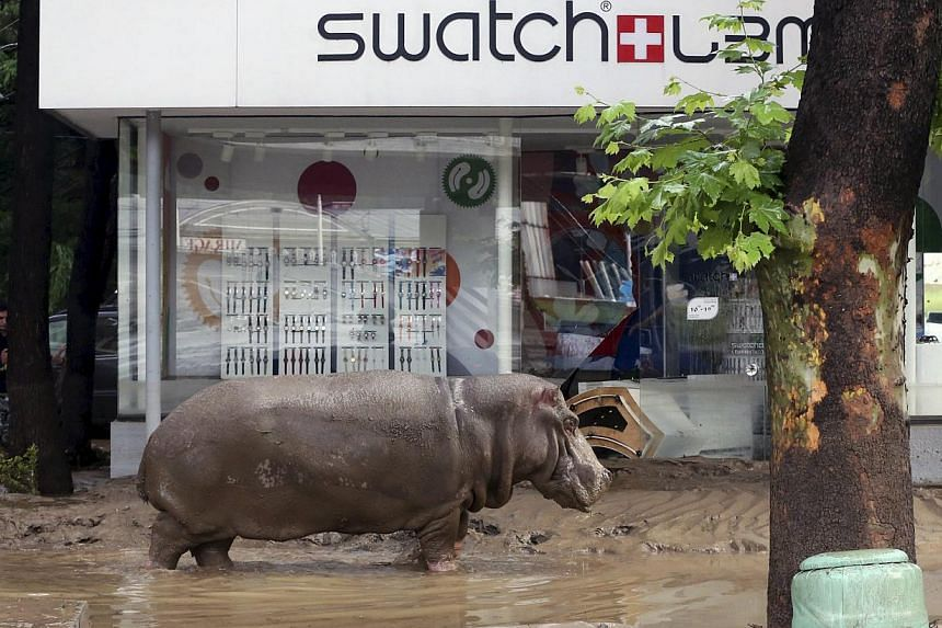 A hippopotamus walking across a flooded street in Tbilisi, Georgia, on June 14, 2015, after it escaped from a zoo. Serious flooding in the Georgian capital has killed eight people and helped several animals escape from their enclosures in the zoo. --