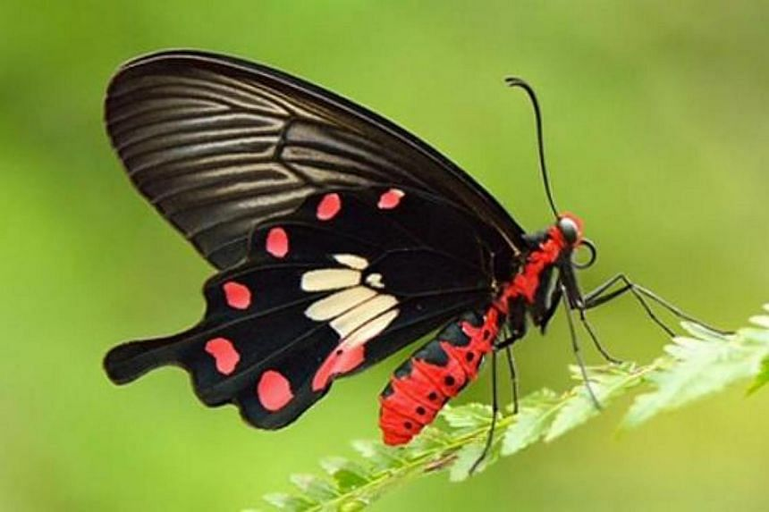 The Common Rose has emerged as Singapore's national butterfly, with more than 7,600 votes cast, beating five other candidates in a contest organised by the Nature Society Singapore. -- PHOTO: NATURE SOCIETY