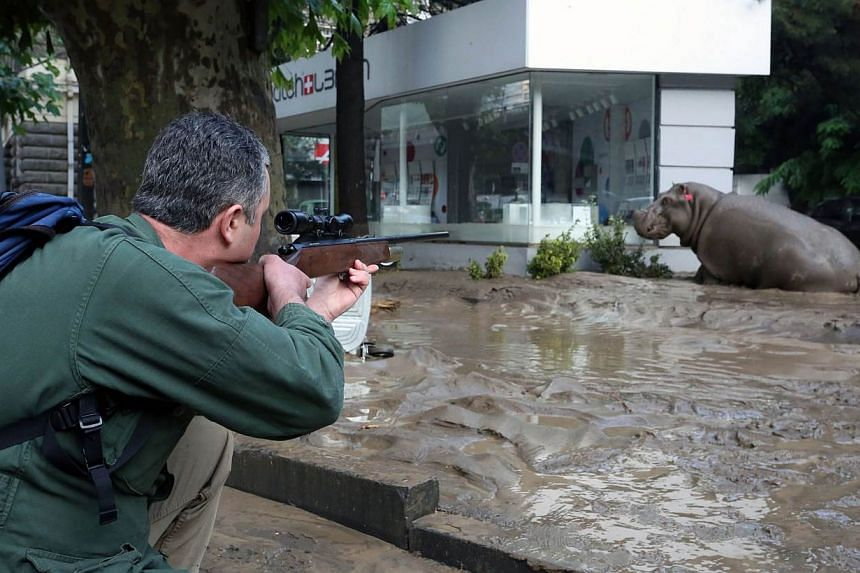 A man shooting a tranquiliser gun at a runaway hippo during severe flooding in Tbilisi, Georgia, on June 14, 2015. Up to 20 people are still missing after devastating floods killed at least a dozen people in the Georgian capital Tbilisi, with es