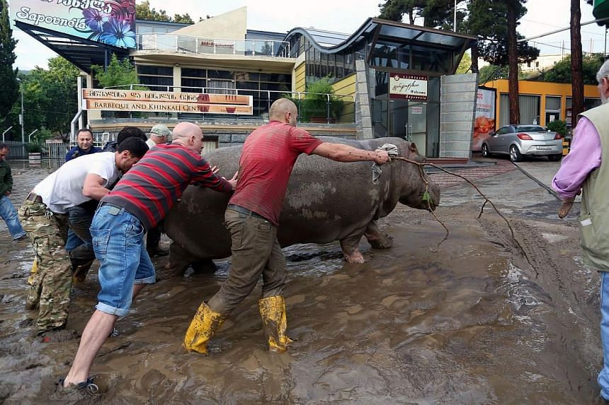 Residents push a hippopotamus along a flooded street in the Georgian capital of Tbilisi on Saturday, after tigers, lions, jaguars, bears and wolves escaped from flooded zoo enclosures. -- PHOTO: AFP