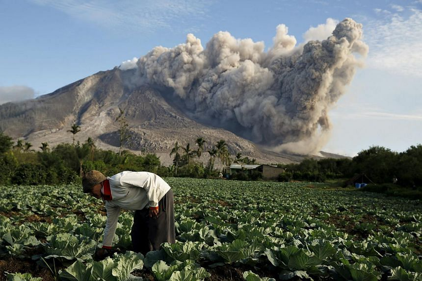 A resident clears weeds on his cabbage field as Mount Sinabung volcano spews ash, as seen from Pintu Besi village in Karo Regency, Indonesia's North Sumatra province, on June 19, 2015.