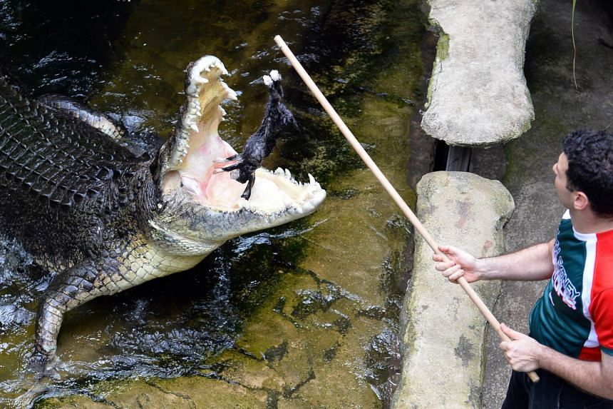 A rabbit being fed to a crocodile at the Wildlife Sydney Zoo last year. Indigenous Affairs Minister Nigel Scullion says crocodile safaris can help fund Aboriginal communities but Mr Abbott downplays the idea.
