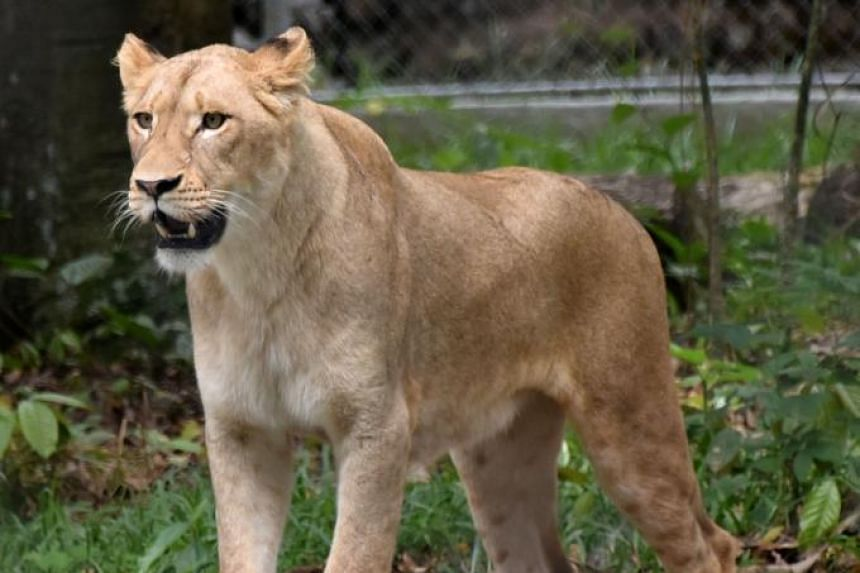 """In an update to its """"Red List"""" of threatened species, the International Union for the Conservation of Nature says the lion remains listed as """"vulnerable"""" at a global level, with its western African sub-population listed as """"critically endan"""