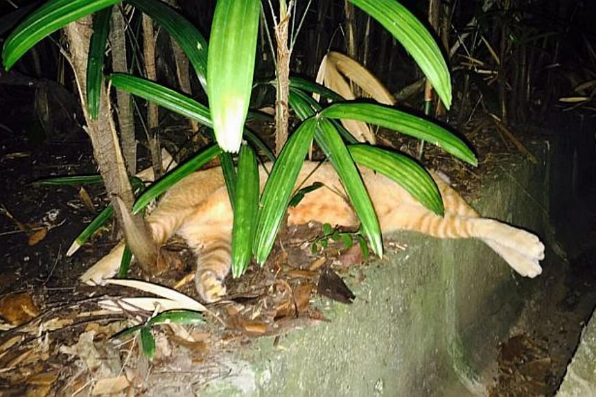 One of the cats found dead at Pasir Ris Park. The cats are suspected to have died from eating poisoned fish crumbs scattered about the area.
