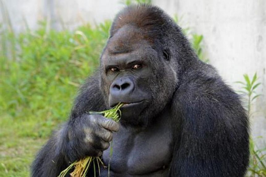 Hunky gorilla Shabani shot to fame after being made the campaign model for the Higashiyama Zoo and Botanical Gardens' spring festival earlier this year.