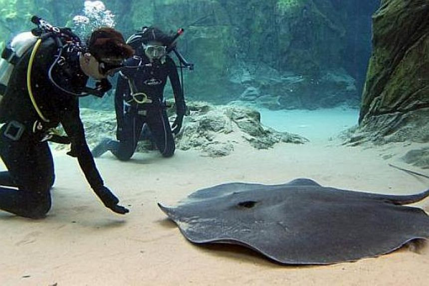 This giant freshwater stingray was moved into the River Safari park's Mekong River zone exhibit on 17 July 2013. Believed to be the largest and heaviest freshwater fish in the world, the stingray completed the exhibit's collection of giant fish.