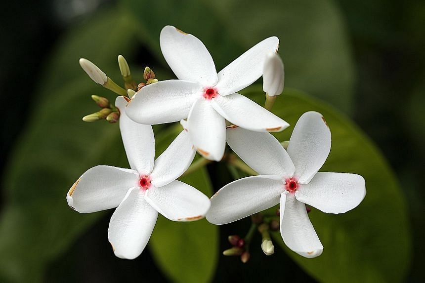 """Visitors can learn about the Kopsia singapurensis tree, whose """"patriotic flowers"""" bloom with a red heart framed by white petals, at the Celebrating SG50: Our Natural Heritage exhibition this weekend."""