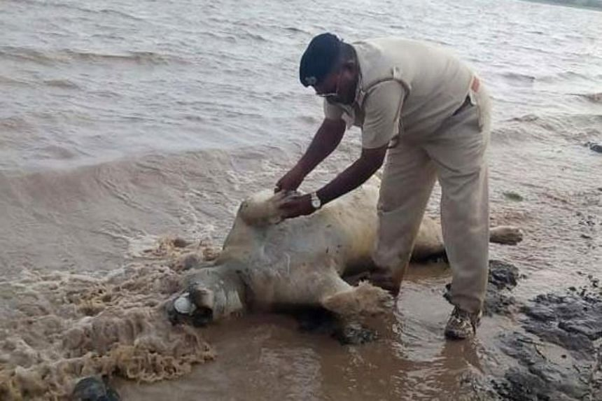 An Indian police officer examines the body of an Asiatic lion on the banks of a river in the Saurashtra region of Gujarat on June 27, 2015.