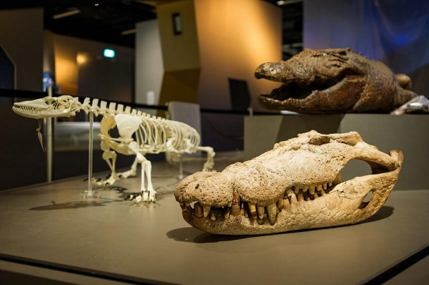 Crocodiles and a Komodo dragon skeleton are among over 2,000 specimens on display at the new Lee Kong Chian Natural History Museum. ST PHOTO Copyright: SPH