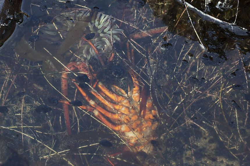 A dead lobster and sea anemone are seen in an oil-filled tide pool near Refugio State Beach, California,  on May 20, 2015.