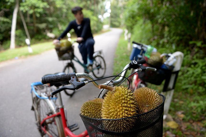Some island visitors go to Pulau Ubin to look for fresh organic durians.