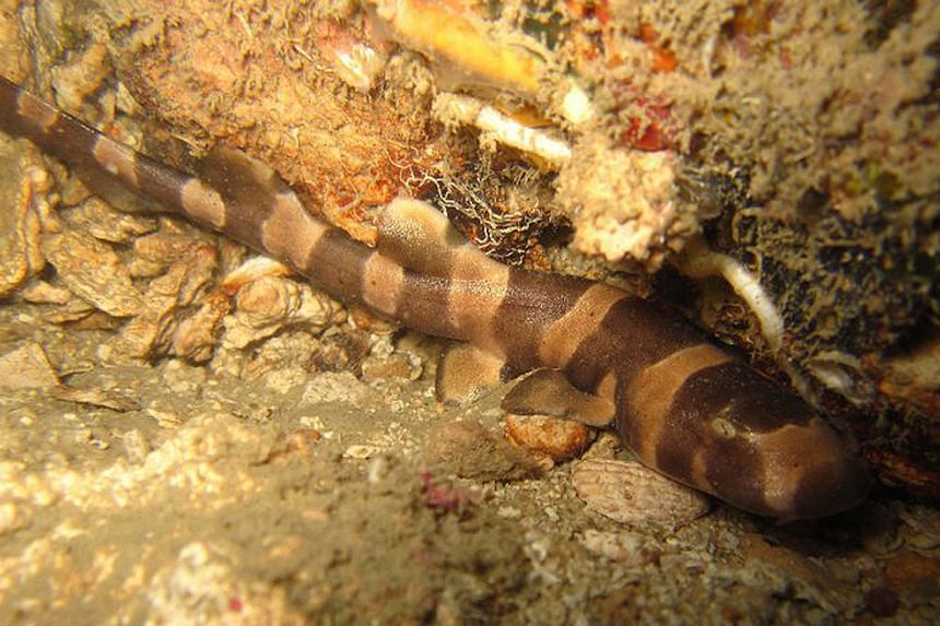 The coral reefs of Pulau Hantu house creatures including the bamboo shark.