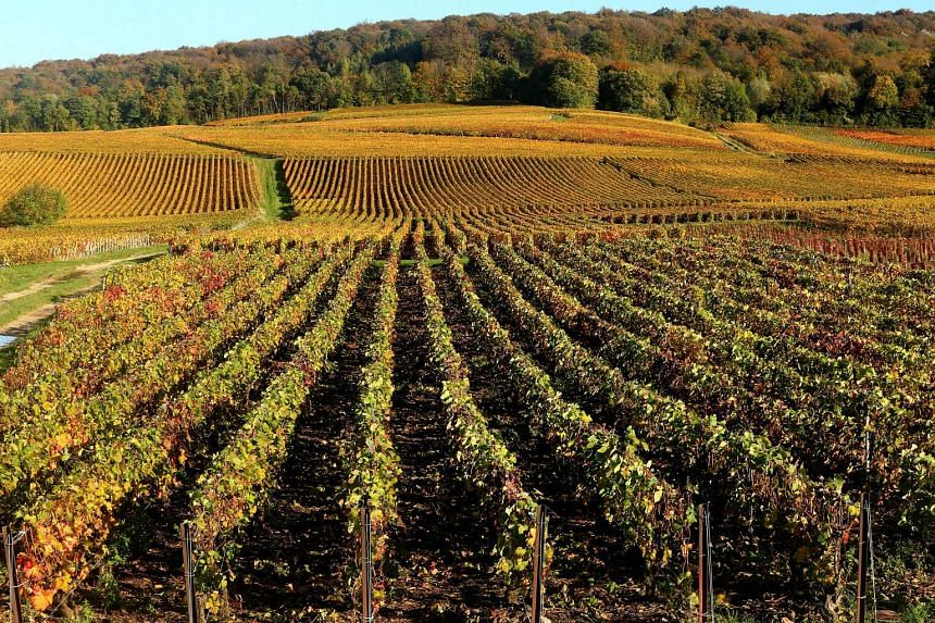 Champagne vineyards adorned with autumn colours, after the harvest, in Mailly-Champagne near Reims, eastern France.