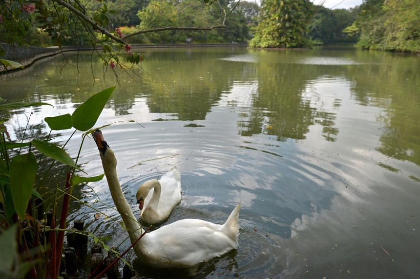 Above: The resident white swans feeding on the foliage at Swan Lake. ST PHOTO: KUA CHEE SIONG