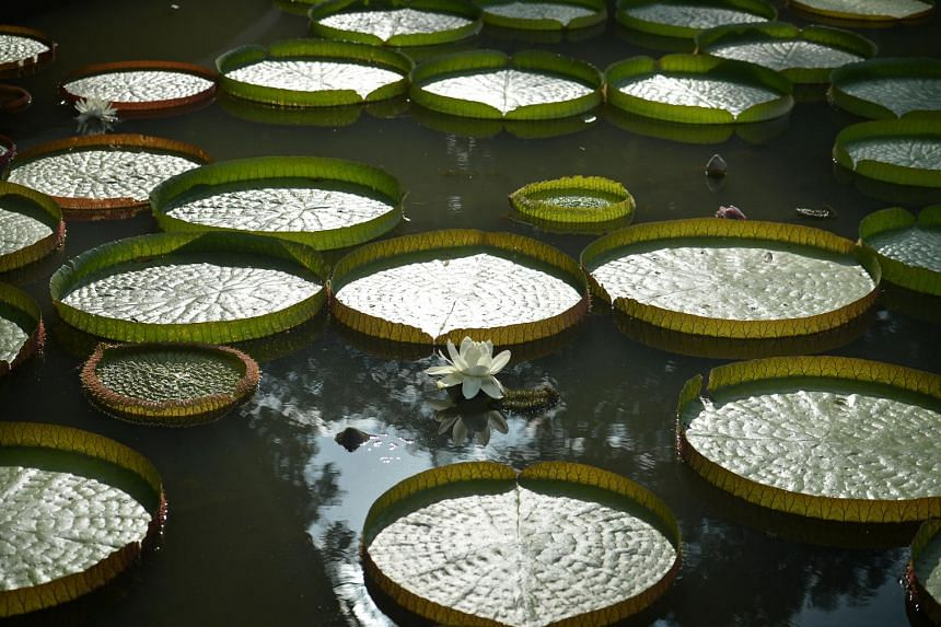Lily pads on Symphony Lake (above); the Cannonball tree attracting a bee to its flower in full bloom: and a newly abandoned spider's web along the Rainforest Trail. ST PHOTOS: KUA CHEE SIONG