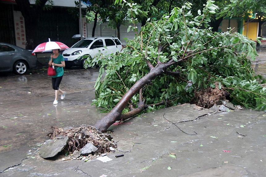 A motorcyclist in Taipei riding through a downpour brought on by Typhoon Chan-hom yesterday. A tree uprooted by strong winds in Shantou, China's Guangdong province, yesterday. Downpours brought by Typhoon Linfa flooded some regions in the province's