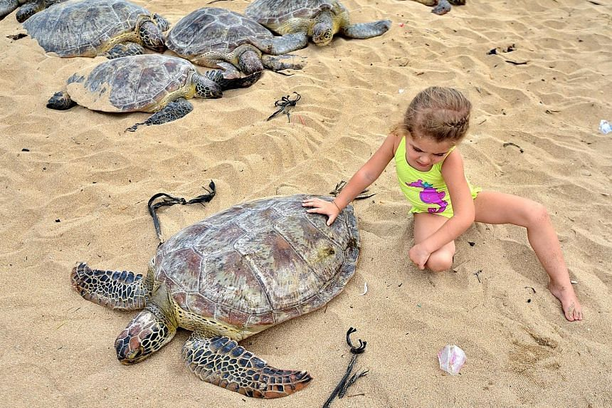 A child getting up close with a green turtle before dozens of them were released, on a beach in Sanur, on the Indonesian island of Bali yesterday. Indonesian police said they seized the 37 endangered reptiles during an operation in the Badung strait