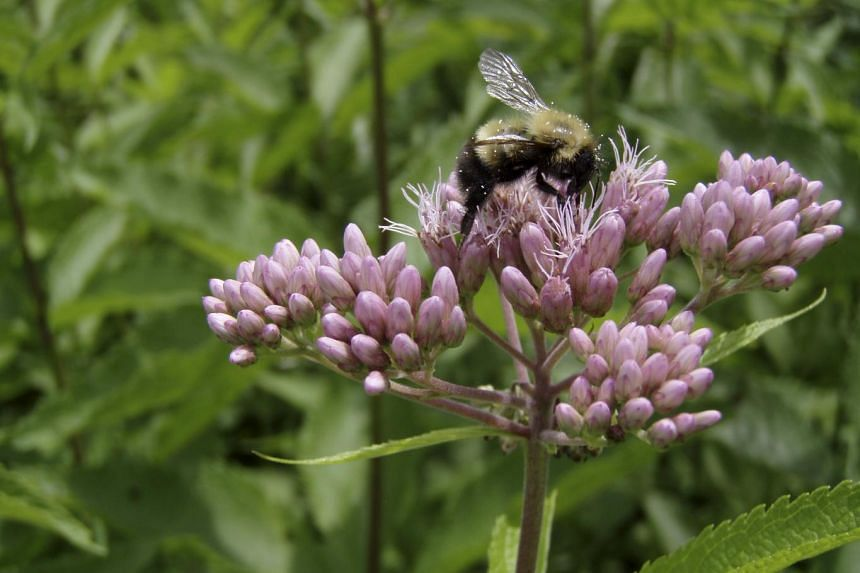 A bumblebee forages on a flowering joe-pye-weed in Vermont, in the United States.