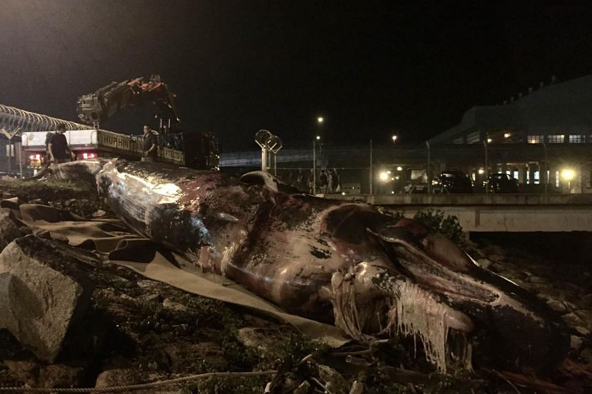 The sperm whale carcass being pulled onto land at Tuas Marine Transfer Station.