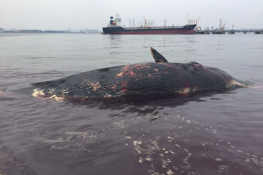 The carcass of a sperm whale was found floating near Jurong Island on Friday morning, July 10, 2015.