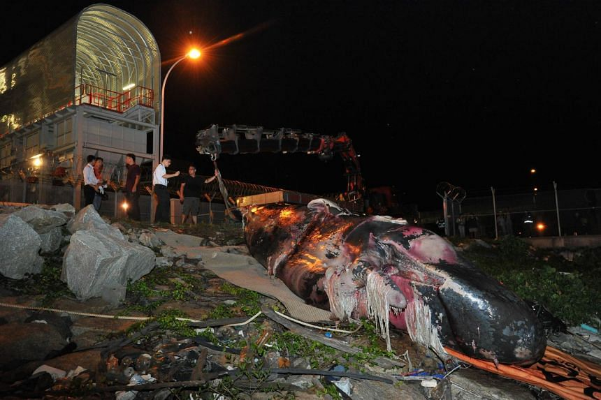 The sperm whale carcass at Tuas Marine Transfer Station on July 10, 2015.
