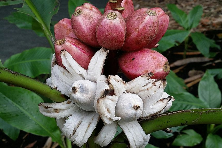 Besides providing food for birds, the pink banana (left) offers a peek into what seeded bananas taste like.
