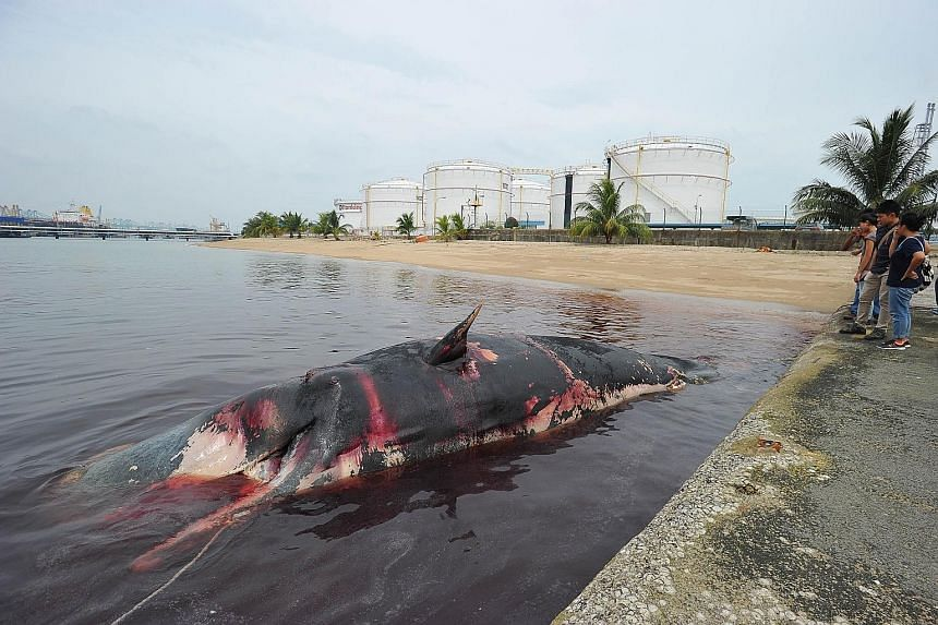 The carcass of a sperm whale floating off Jurong Island yesterday. The Lee Kong Chian Natural History Museum will work to preserve the specimen, believed to be a young adult.