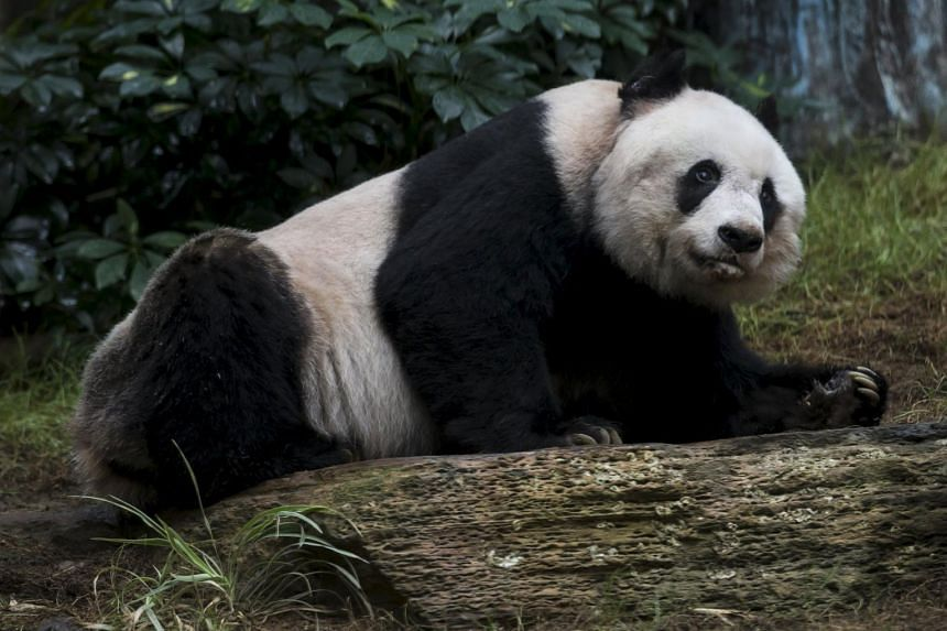 36-year-old giant panda Jia Jia looking on at the Hong Kong Ocean Park, China July 9, 2015. Jia Jia, the oldest giant panda living in captivity, is set to challenge the world record for the animals' longevity, with her age said to put her on par with