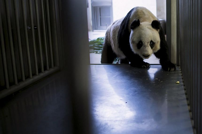 36-year-old giant panda Jia Jia, walks into a cage where health checkups are performed, at the Hong Kong Ocean Park, China on July 9, 2015.