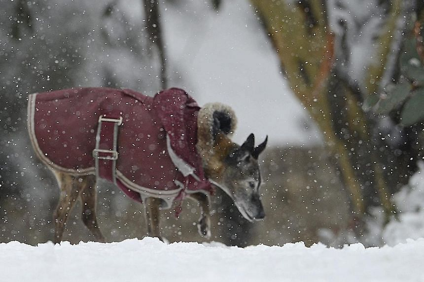 A dog in a winter coat exploring the snow on a ski field north of Melbourne yesterday. A cold snap is sweeping its way across large parts of Australia.