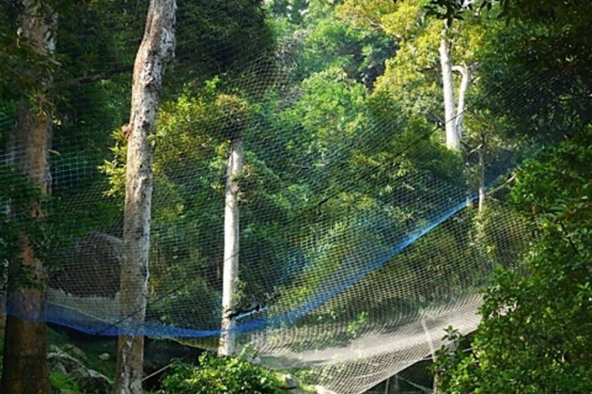 ORGANIC DRAW: Nets used to collect falling durians.