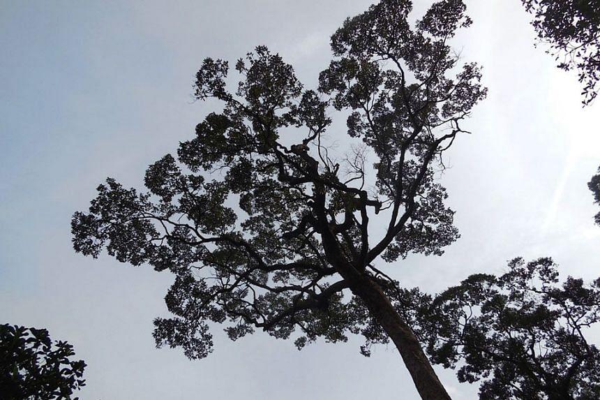 ORGANIC DRAW: An old durian tree.