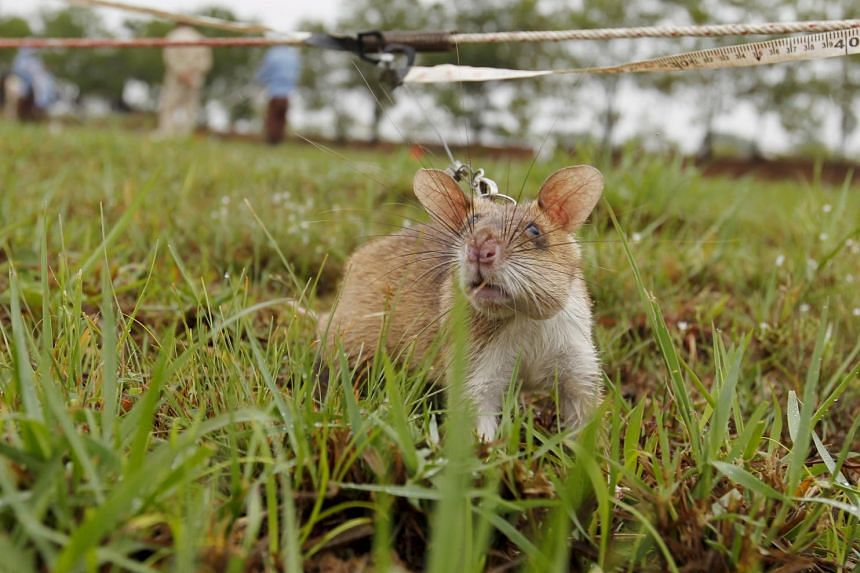 A rat undergoing training to detect mines is pictured on an inactive landmine field in Siem Reap province, on July 9, 2015