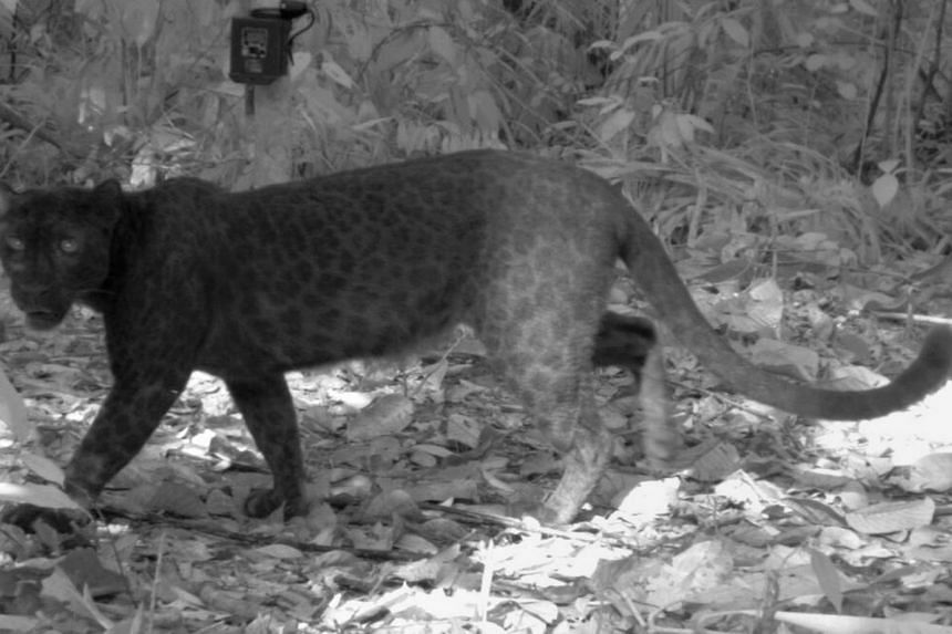 A black leopard photographed after triggering by a remote camera in the forests of Peninsula Malaysia.