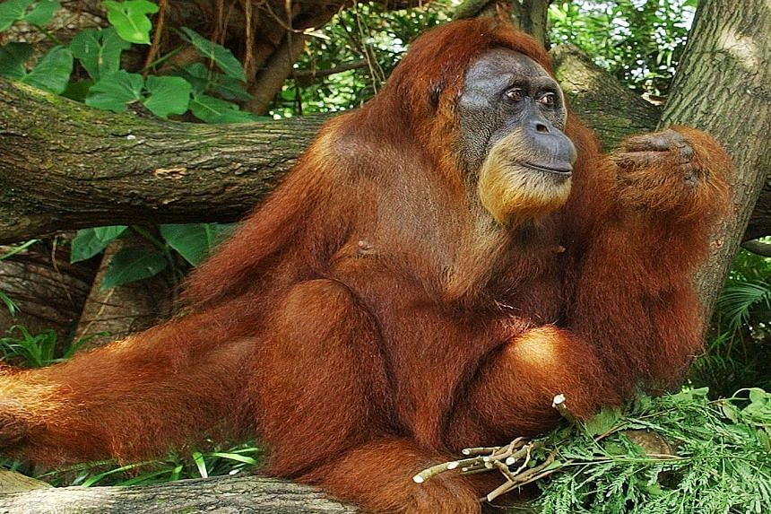 Ah Meng turning 46 at the Singapore Zoo in 2006. The charismatic orang utan was a major attraction for tourists and locals alike.
