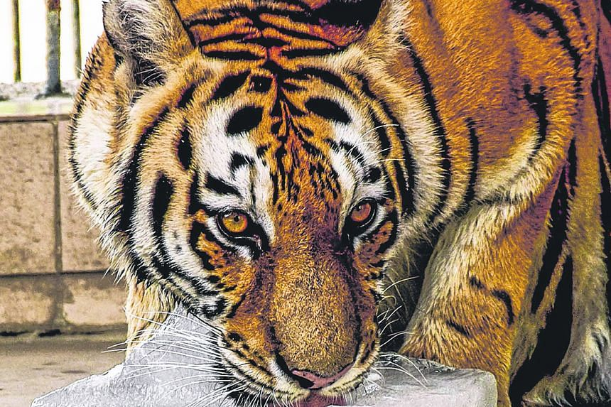 Tigers have the honour of being the most frequently mentioned animal in The Straits Times - both caged and uncaged. On March 24, 1935, one even took top billing on the newspaper's cover, in a local story about a tracker who had trailed it for a week.