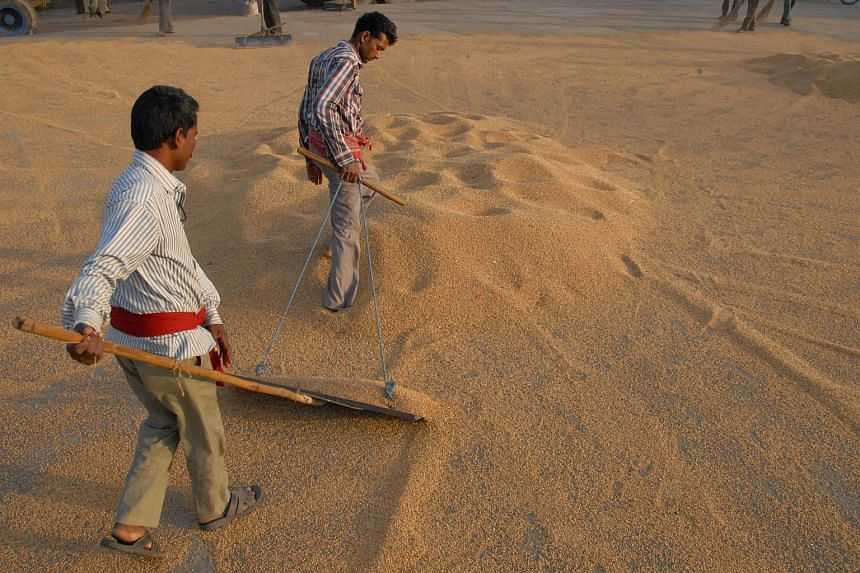 Indian labourers drying wheat grains at a market in Jalandhar.