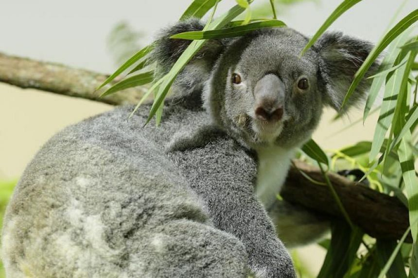 The most active and vocal koala with the prinkest nose and darkest fur, Chan just may be the easiest to identify.