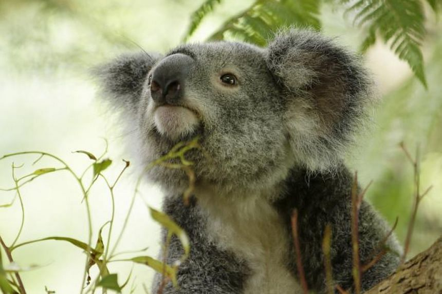 Idalia is the smallest and youngest koala. She has large fluffy ears and is adventurous when it comes to food and is the most likely to try new species of eucalypt leaves.